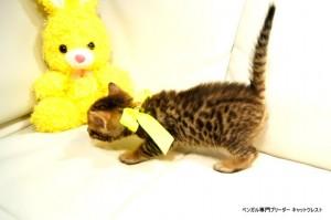ベンガル子猫81番イエロー2
