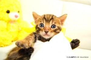 ベンガル子猫81番イエロー