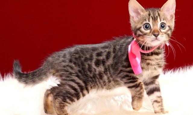 ベンガルの子猫2018年3月5日生 489番ぴんく
