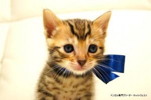 ベンガル子猫80番ブルー