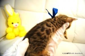 ベンガル子猫80番ブルー2