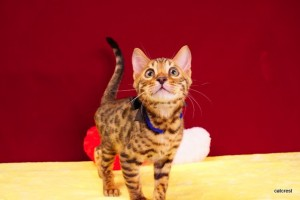 ベンガルの子猫2016年1月7日生まれ220番ブラック君