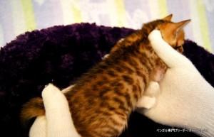 ベンガル子猫44番レッドちゃん0301-1