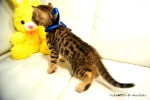 ベンガル子猫80番ブルー4