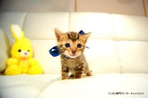 ベンガル子猫80番ブルー3