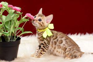 ベンガルの子猫2018年3月26日生まれ きいろくん