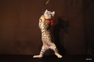 ベンガル子猫CS8レッドちゃん