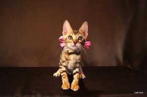 ベンガル子猫CS6ピンクちゃん