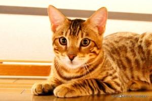 ベンガル子猫68番みずいろ1