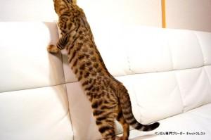 ベンガル子猫69番むらさき4