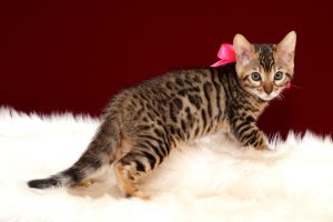 ベンガルの子猫2018年4月20日生494番ピンク