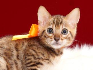 ベンガルの子猫2018年4月20日生495オレンジ