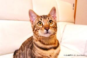ベンガル子猫69番むらさき1