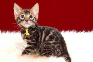 ベンガルの子猫2018年4月29日生 497番イエロー