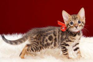 ベンガルの子猫2018年4月29日生496番レッド