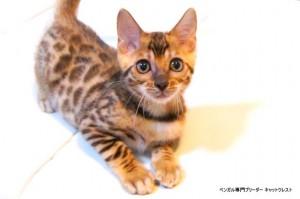 ベンガルの子猫78番オレンジ