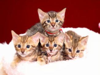 ベンガルの子猫2018年5月生まれ