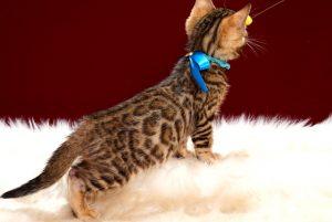 ベンガルの子猫2018年4月24日生 509番 ブルー