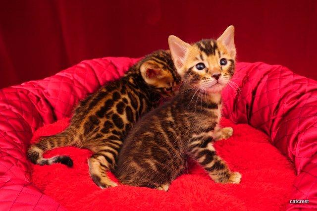 ベンガルの子猫写真