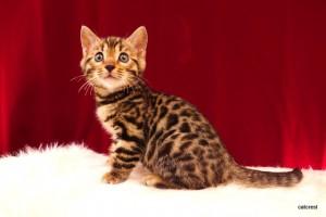 ベンガルの子猫2016年2月14日生まれ 225番オレンジ君