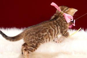 ベンガルの子猫2018年4月24日生 507番 ピンク
