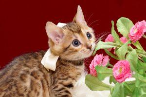 ベンガルの子猫2018年4月24日生 506番ホワイト