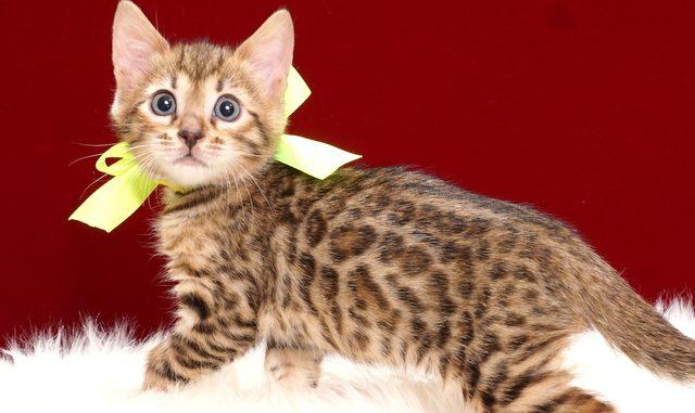 ベンガルの子猫2018年4月24日生 505番イエロー