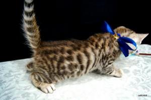 ベンガル子猫121番あお君