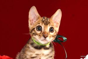 ベンガルの子猫 2016年8月28日生まれ 259番ミドリくん