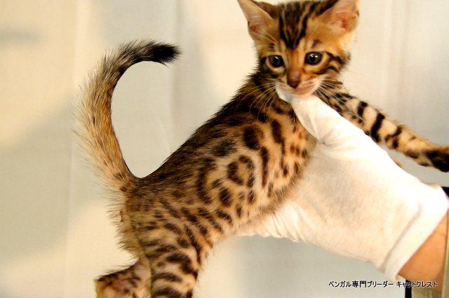 ベンガル子猫 36番