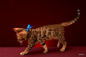 ベンガルの子猫2016年1月29日生まれ221番あお君