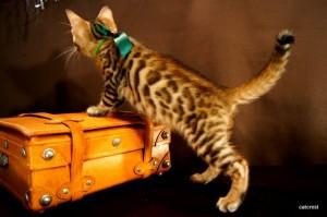 ベンガル子猫123番みどり君