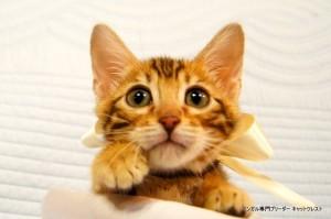 ベンガル子猫45番ホワイトちゃん1
