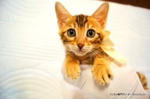 ベンガル子猫45番ホワイトちゃん2