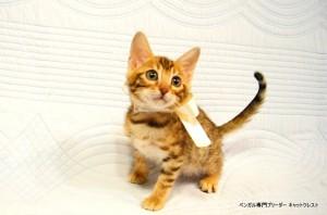 ベンガル子猫45番ホワイトちゃん3