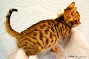 ベンガル子猫45番ホワイトちゃん5