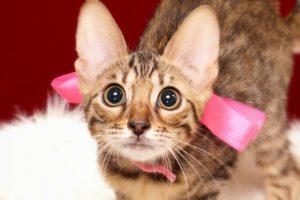 ベンガルの子猫 2017年4月27日生まれ 351番ピンク