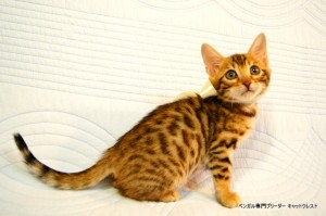 ベンガル子猫45番ホワイトちゃん7