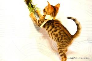 ベンガル子猫45番ホワイトちゃん8