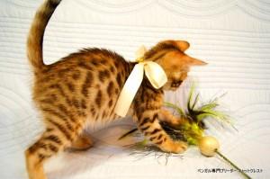 ベンガル子猫45番ホワイトちゃん9