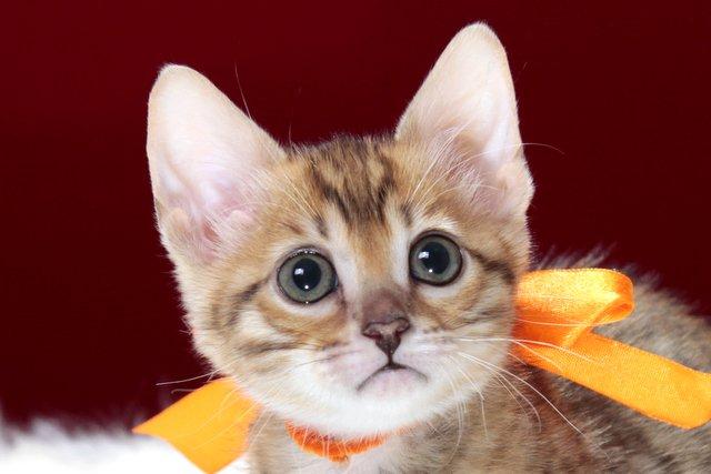 ベンガルの子猫 2016年12月28日生まれ 289番オレンジちゃん