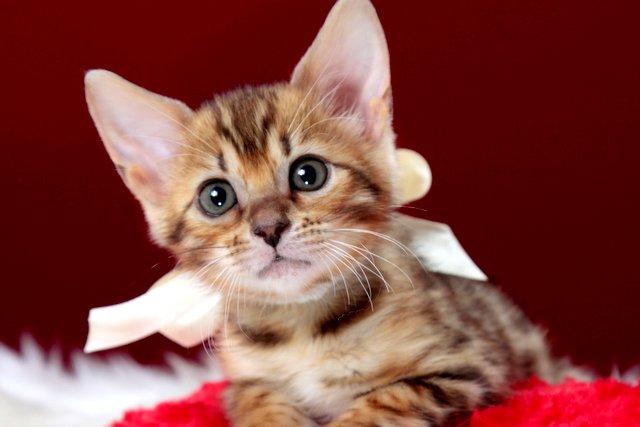 ベンガルの子猫 2016年12月28日生まれ 290番ホワイトちゃん