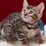 ベンガルの子猫 2016年12月22日生まれ 295番あお君 オス
