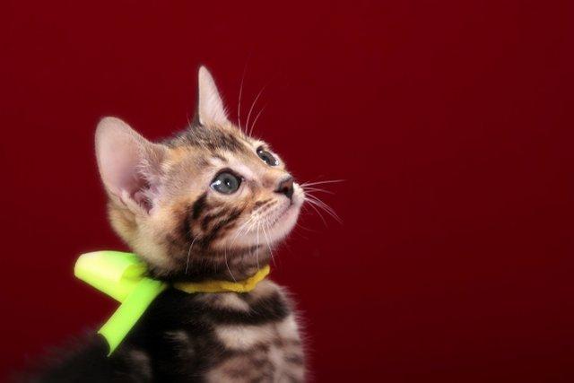 ベンガルの子猫 2016年12月22日生まれ 296番きいろ君 オス