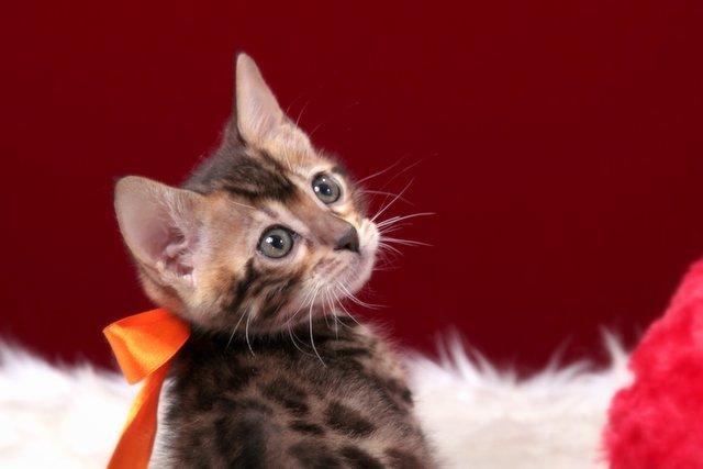 ベンガルの子猫 2016年12月22日生まれ 297番おれんじちゃん メス