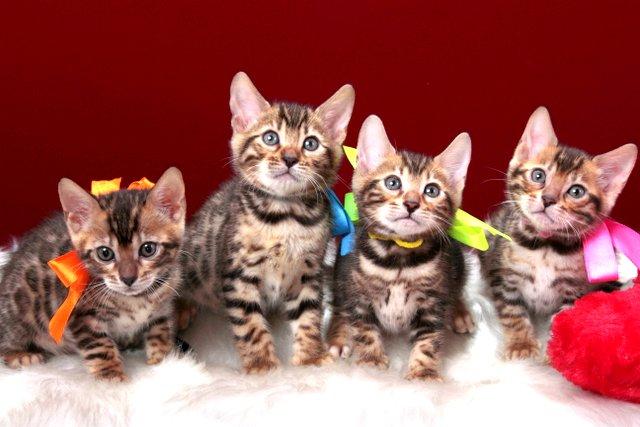 ベンガルの子猫販売