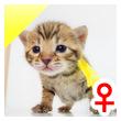 ベンガル子猫 10番レモン20120216-0
