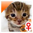 ベンガル猫の子猫1番オレンジちゃん