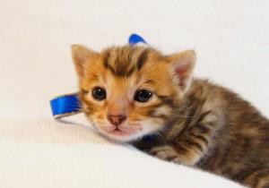 ベンガル子猫31番アオくん1