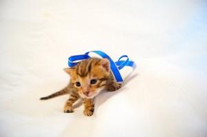 ベンガル子猫31番アオくん2
